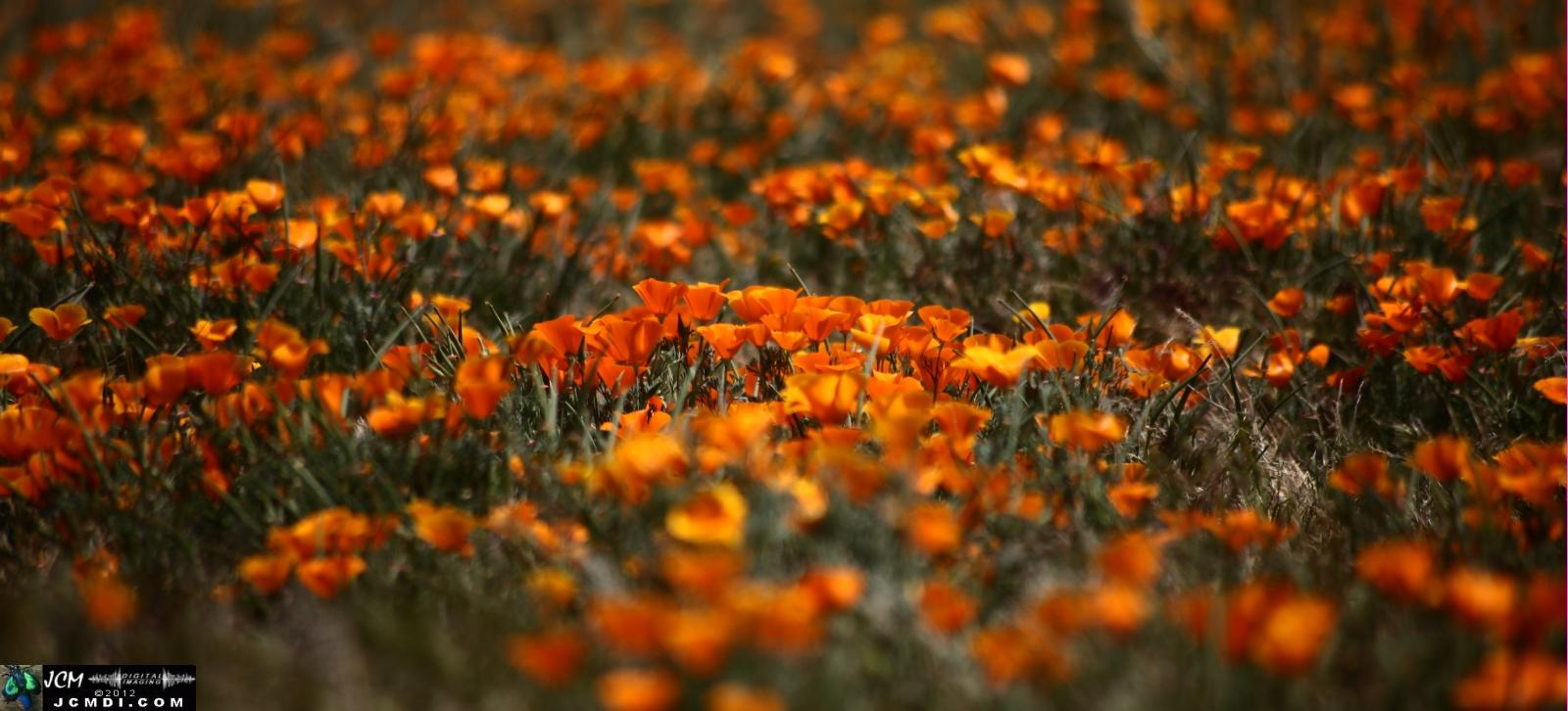 California Poppy Reserve in the Antelope Valley, CA, Spring 2012