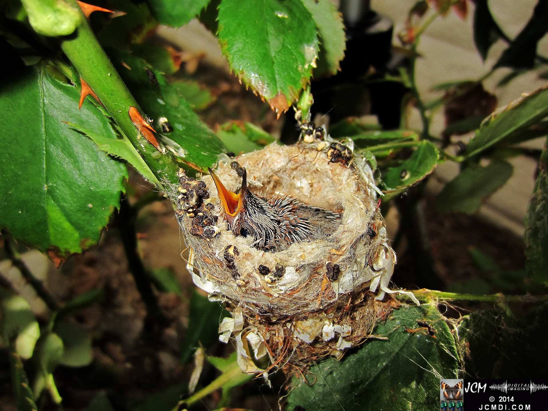 Allens Hummingbird Chick in Nest