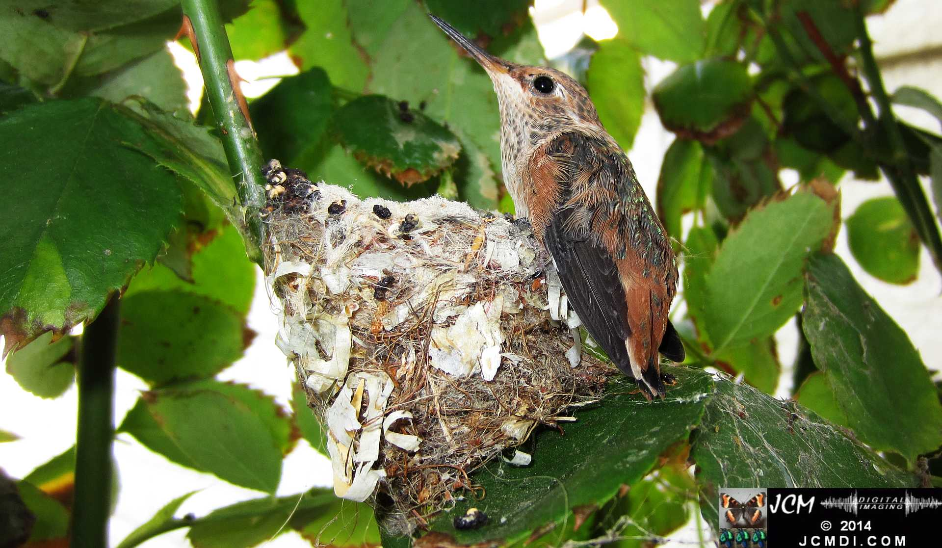 Allens Hummingbird chick and nest image 3-28-2014