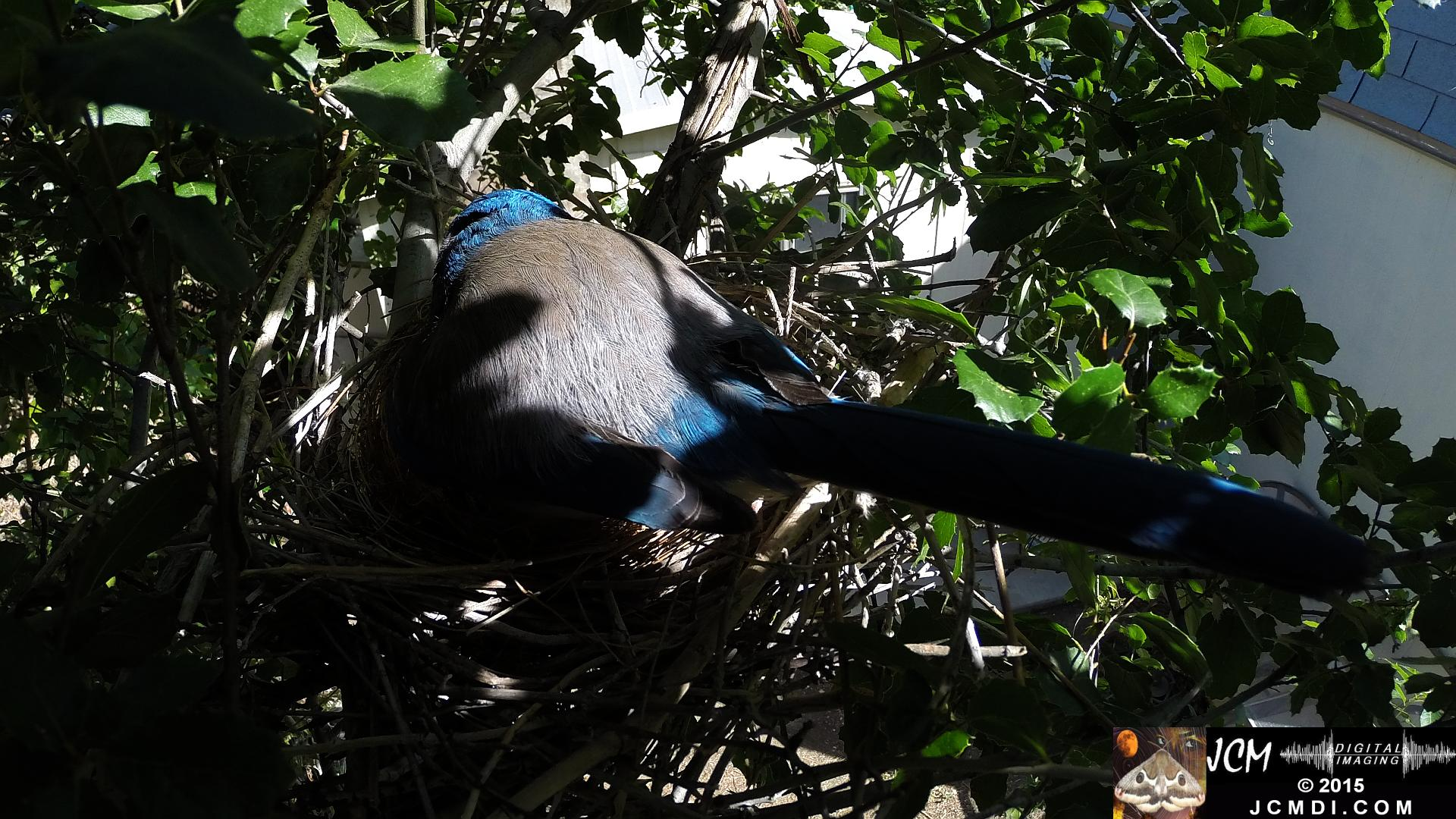 Scrub Jay female adjusting eggs back view