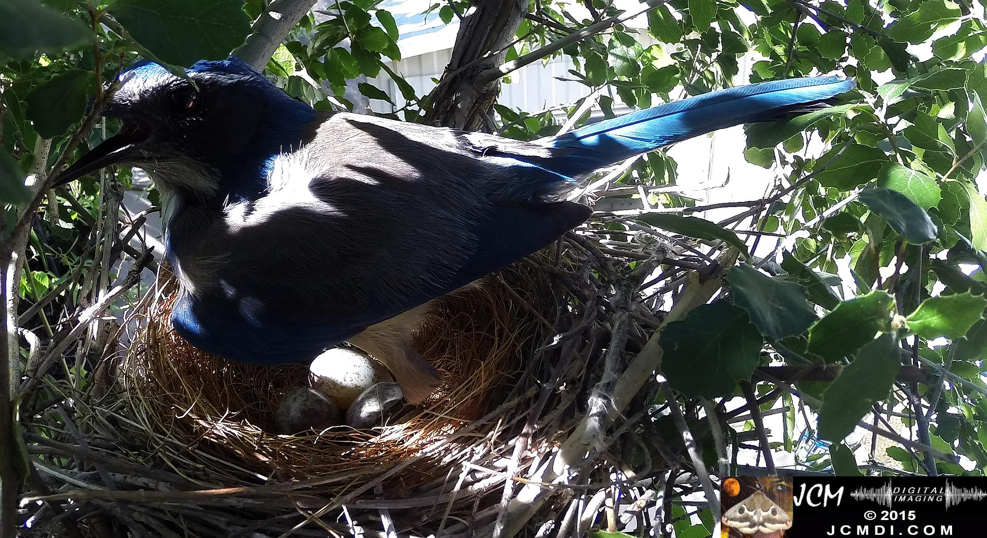 Scrub Jay female standing on nest panting