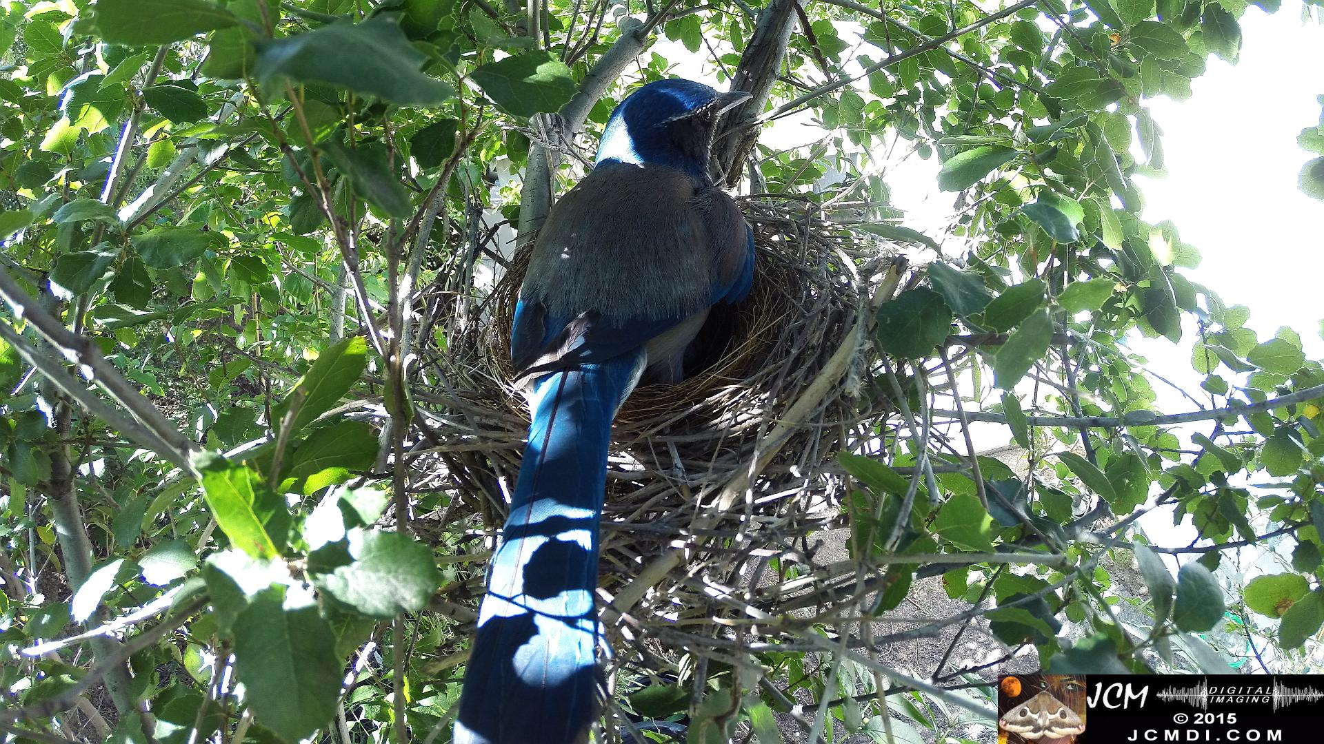 Scrub Jay Female in nest back view