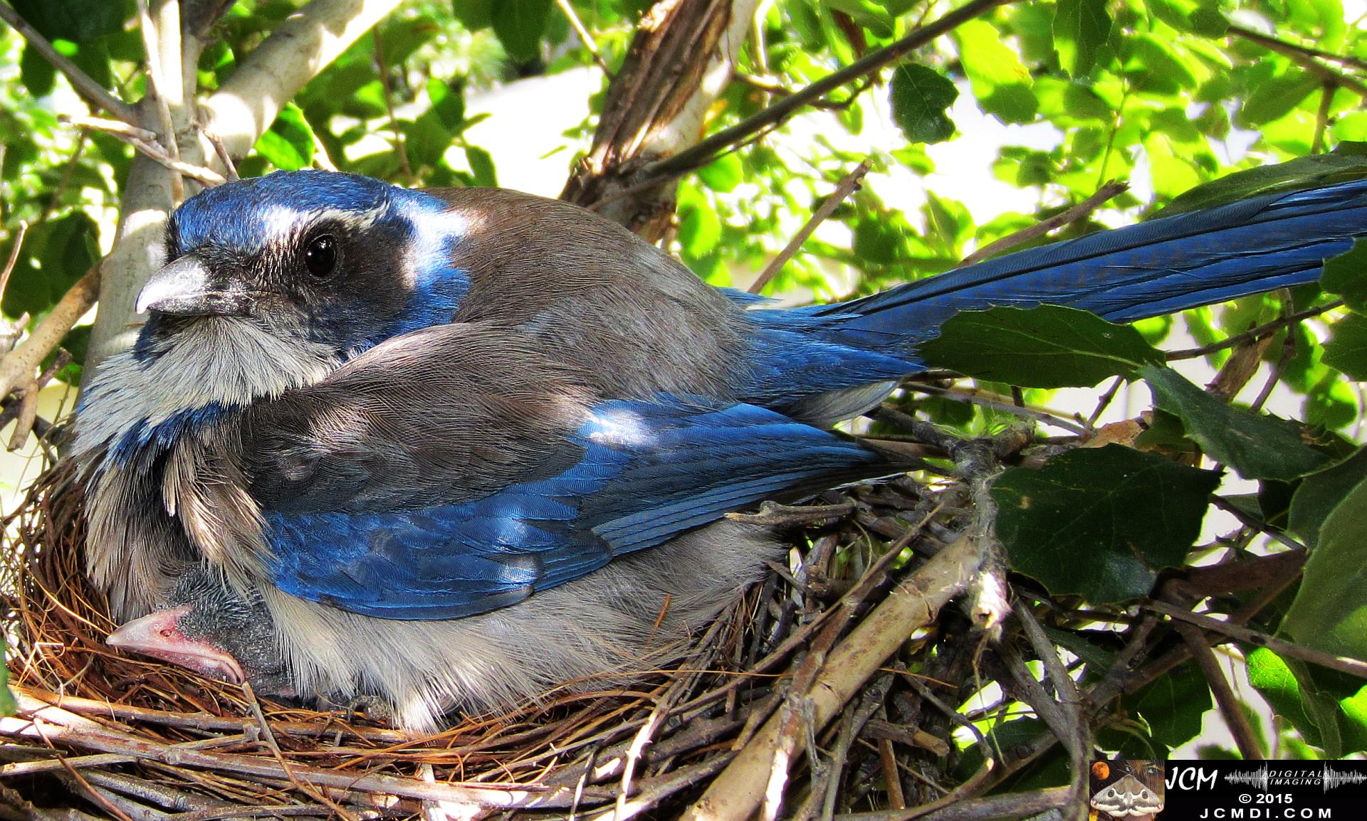 Scrub Jay Nest Documenatry with chicks