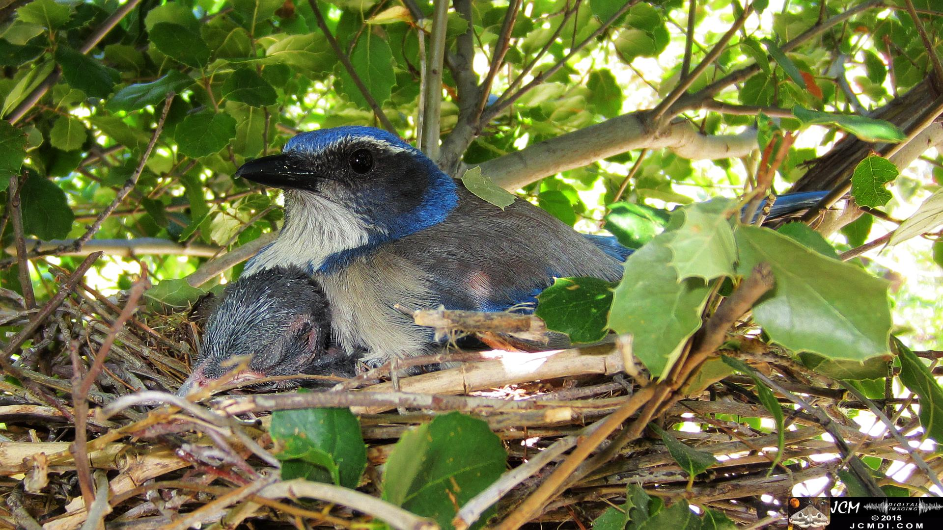 Scrub Jay Nest hen sitting on chick