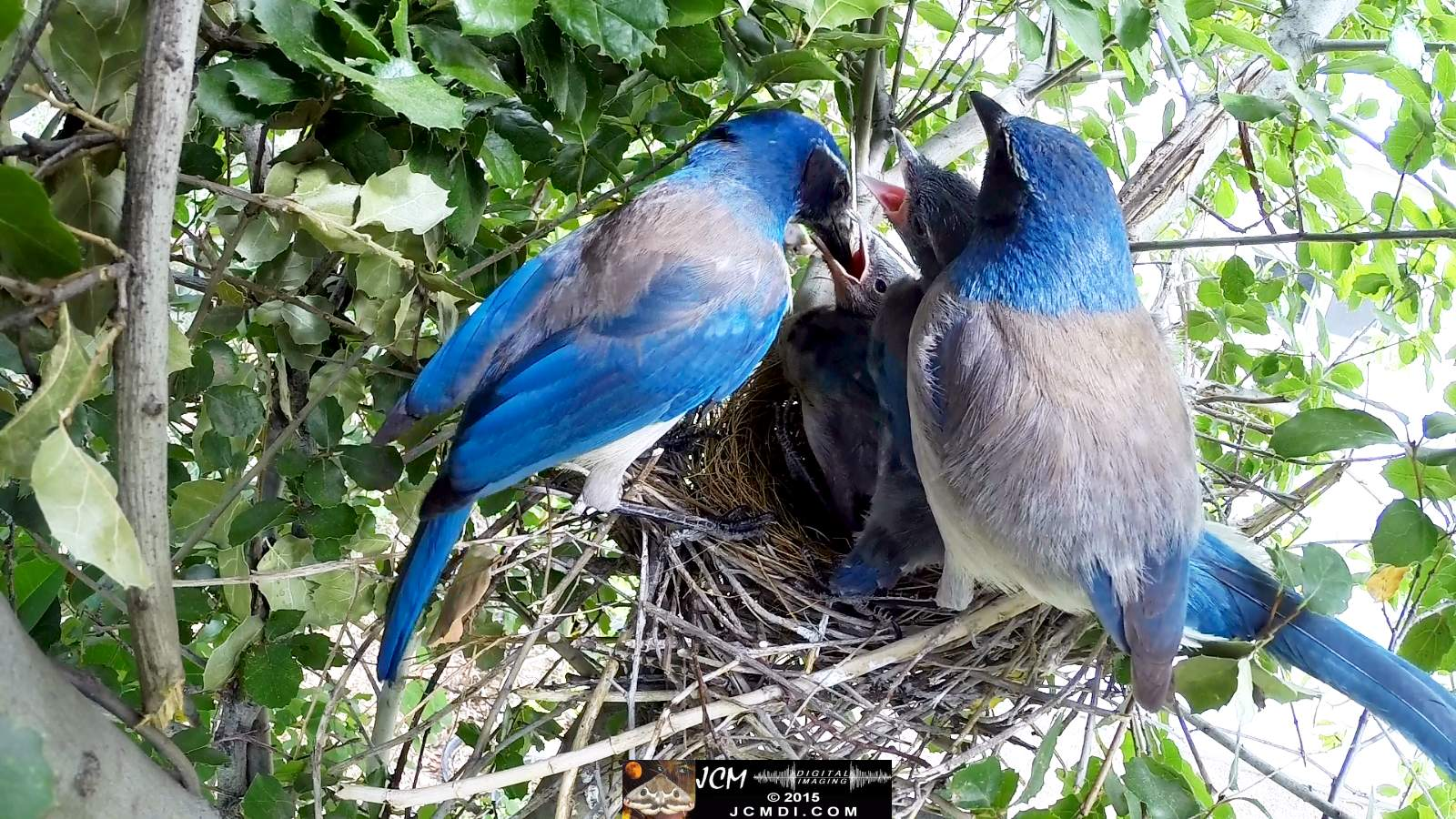 Scrub Jay Documentary male arrives all feed both leave