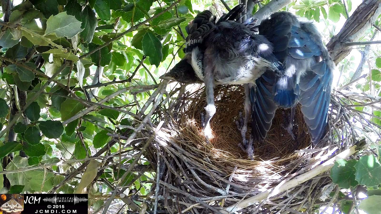 Scrub Jay Documentary chicks stretching