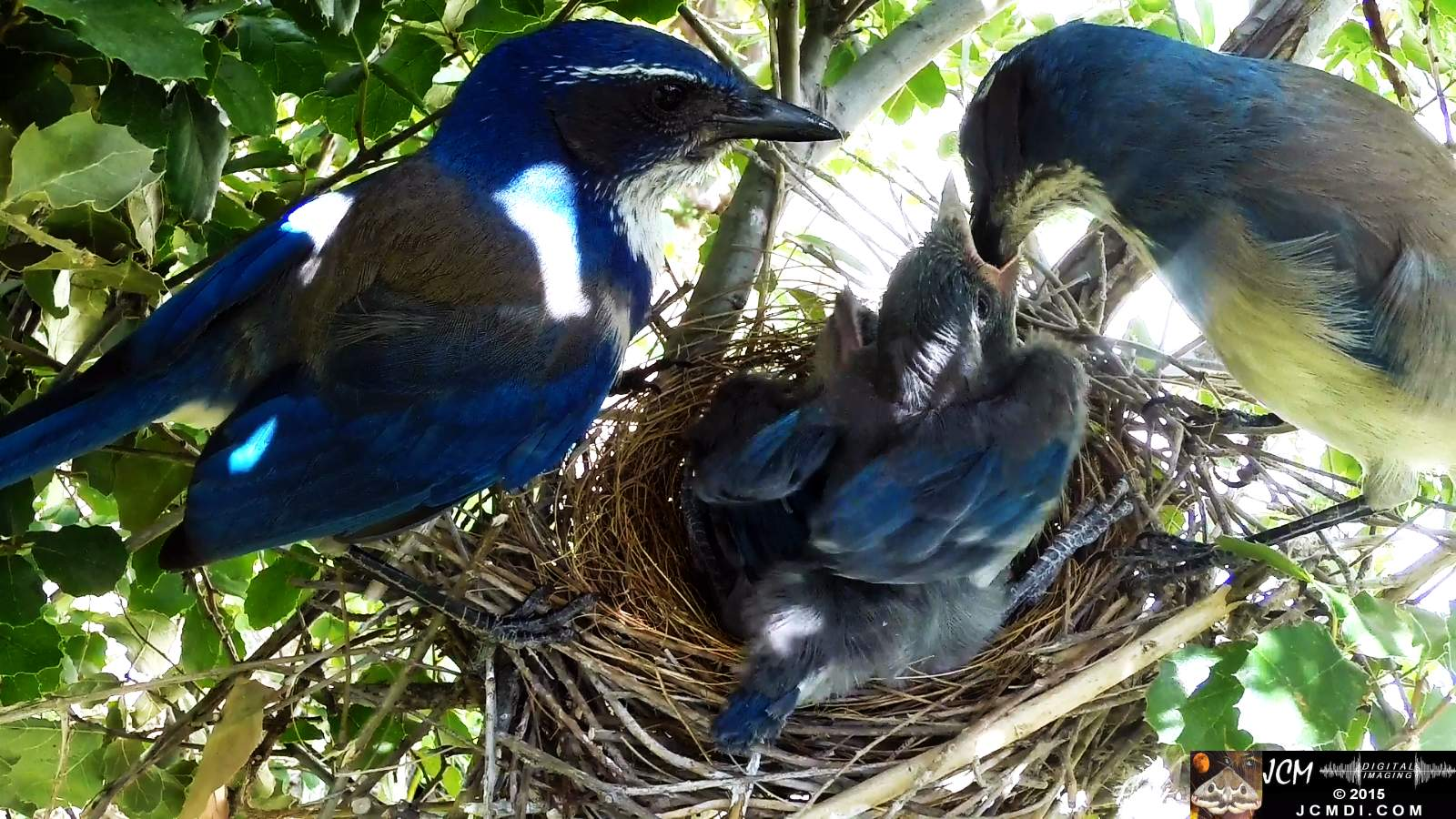 Scrub Jay Documentary long feeding poop both parents leave