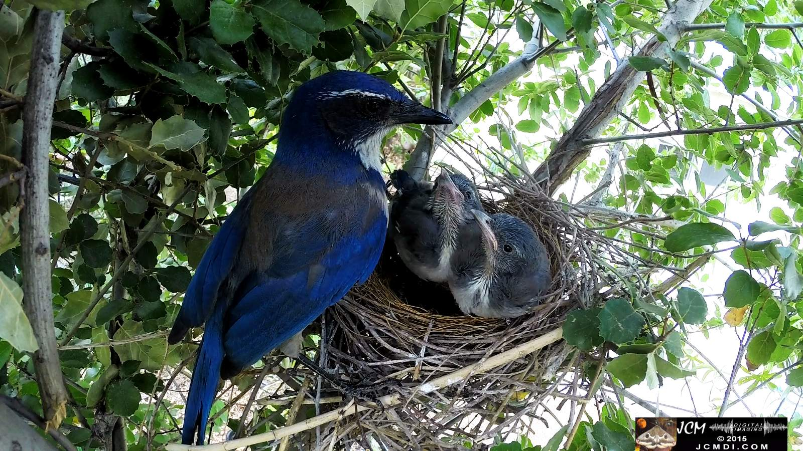 Scrub Jay Documentary parent feeds chicks leaves