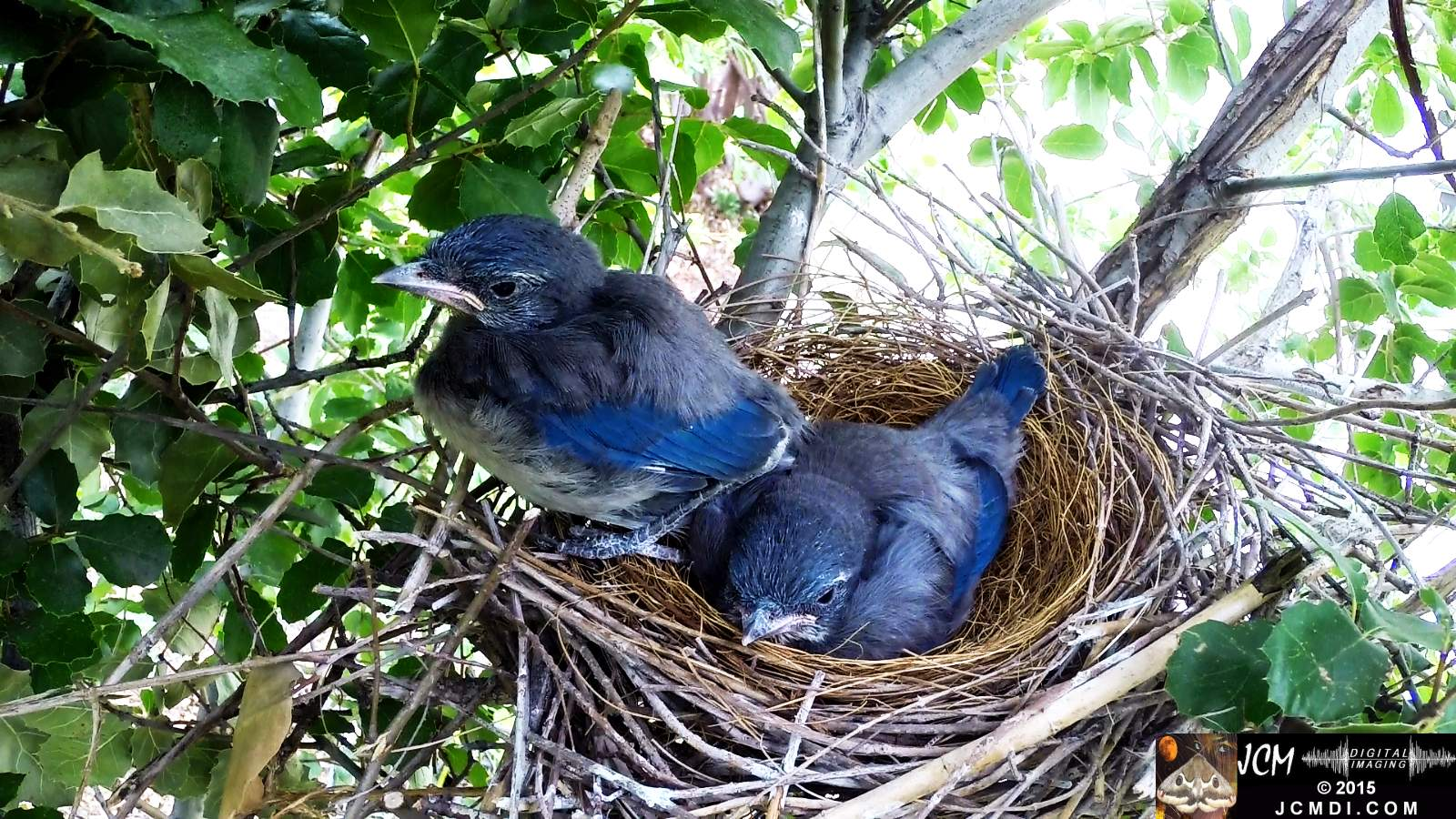 Scrub Jay Documentary chicls resting one standing on rim
