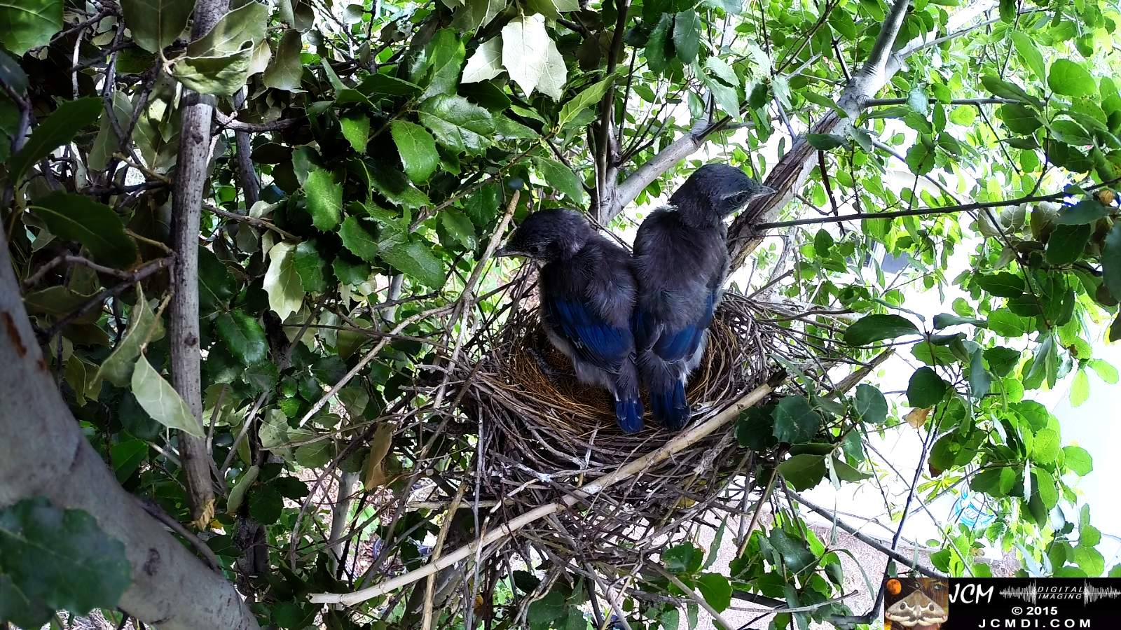 Scrub Jay Documentary chicks hanging out on nest edge back view (sirens)