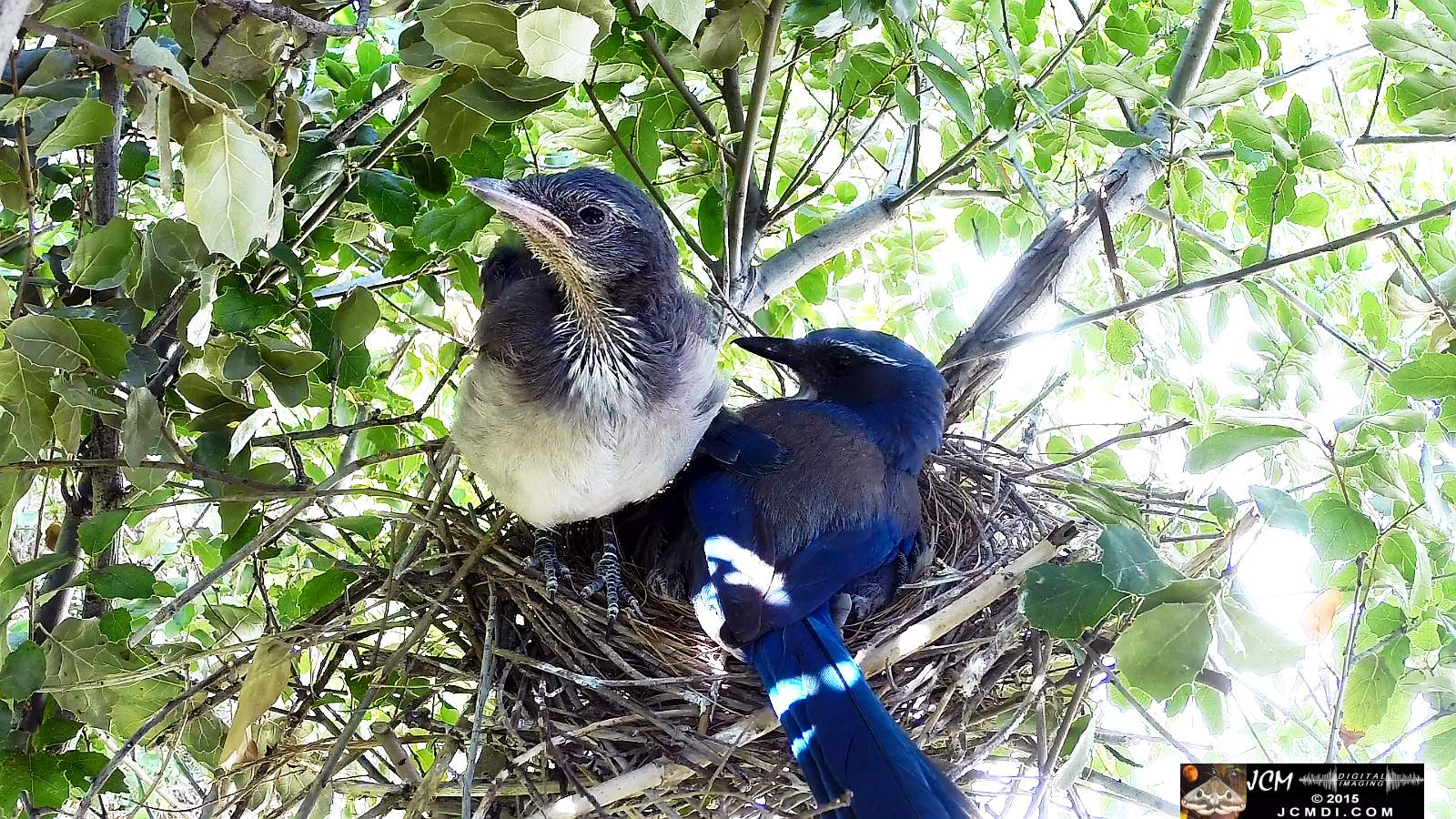 Scrub Jay Documentary chicks climbs on parent who leaves