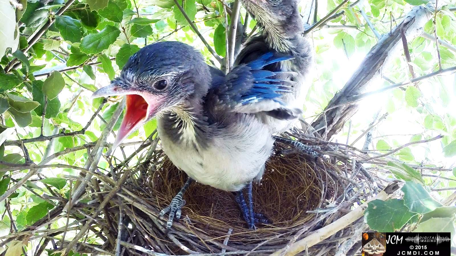 Scrub Jay Documentary male arrives feeds chicks eats poop leaves