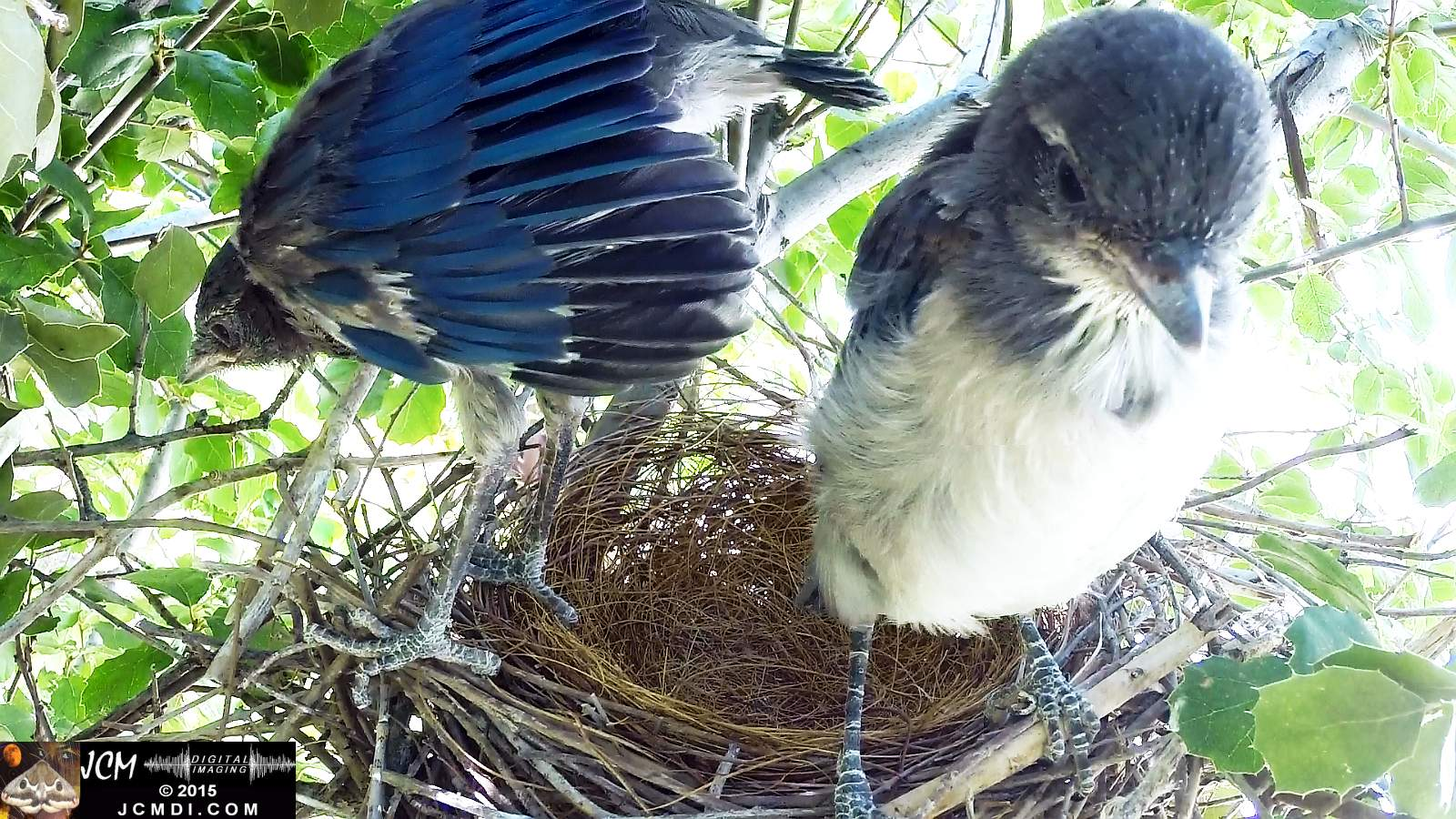 Scrub Jay Documentary parent arrives feeds chicks leaves very close up