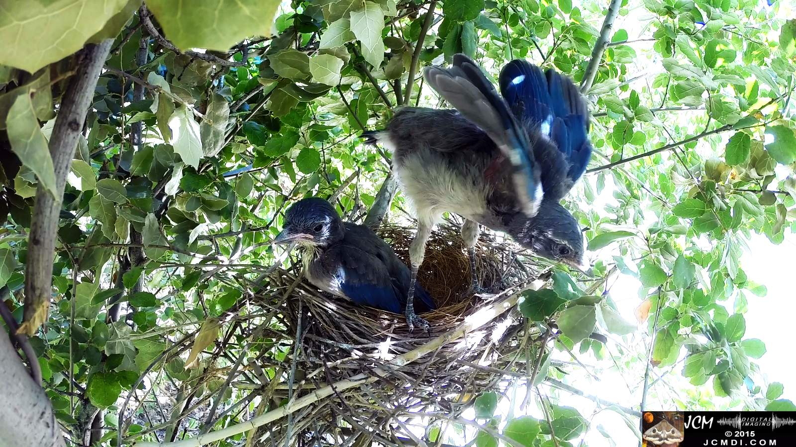 Scrub Jay Documentary parent leaves chicks squawking stretching 2