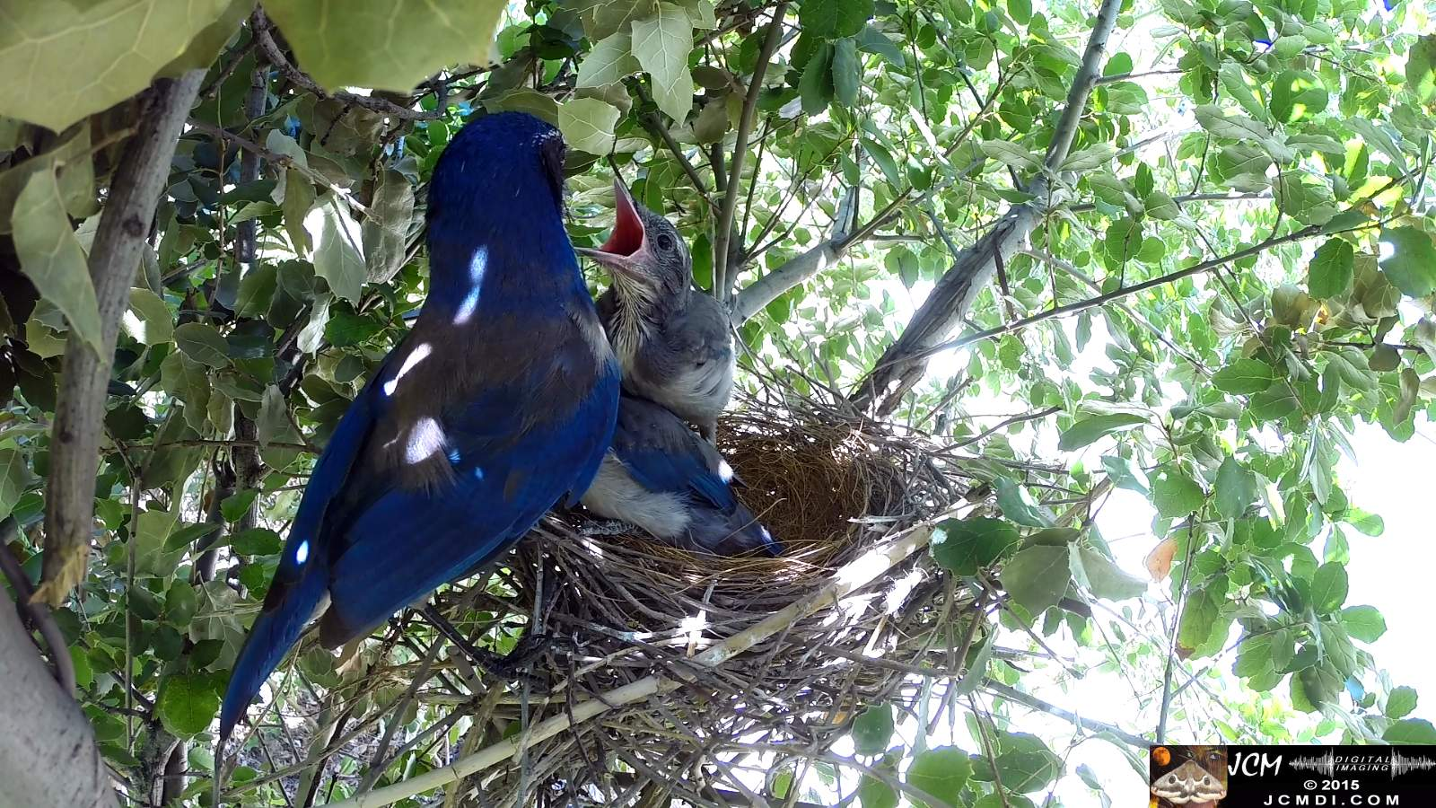 Scrub Jay Documentary parent leaves chicks squawking stretching
