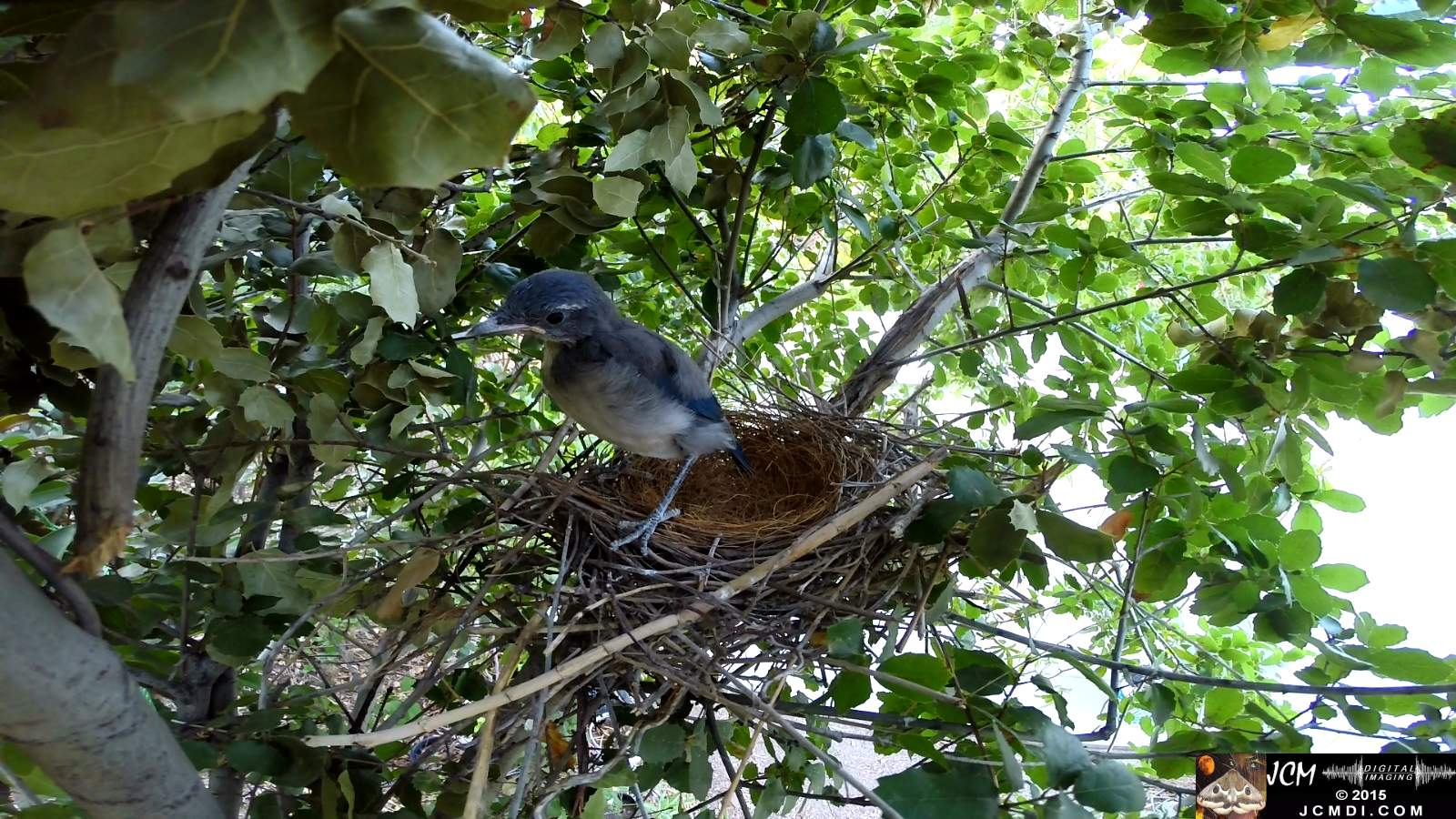 Scrub Jay Documentary one chick left nest other standing on edge