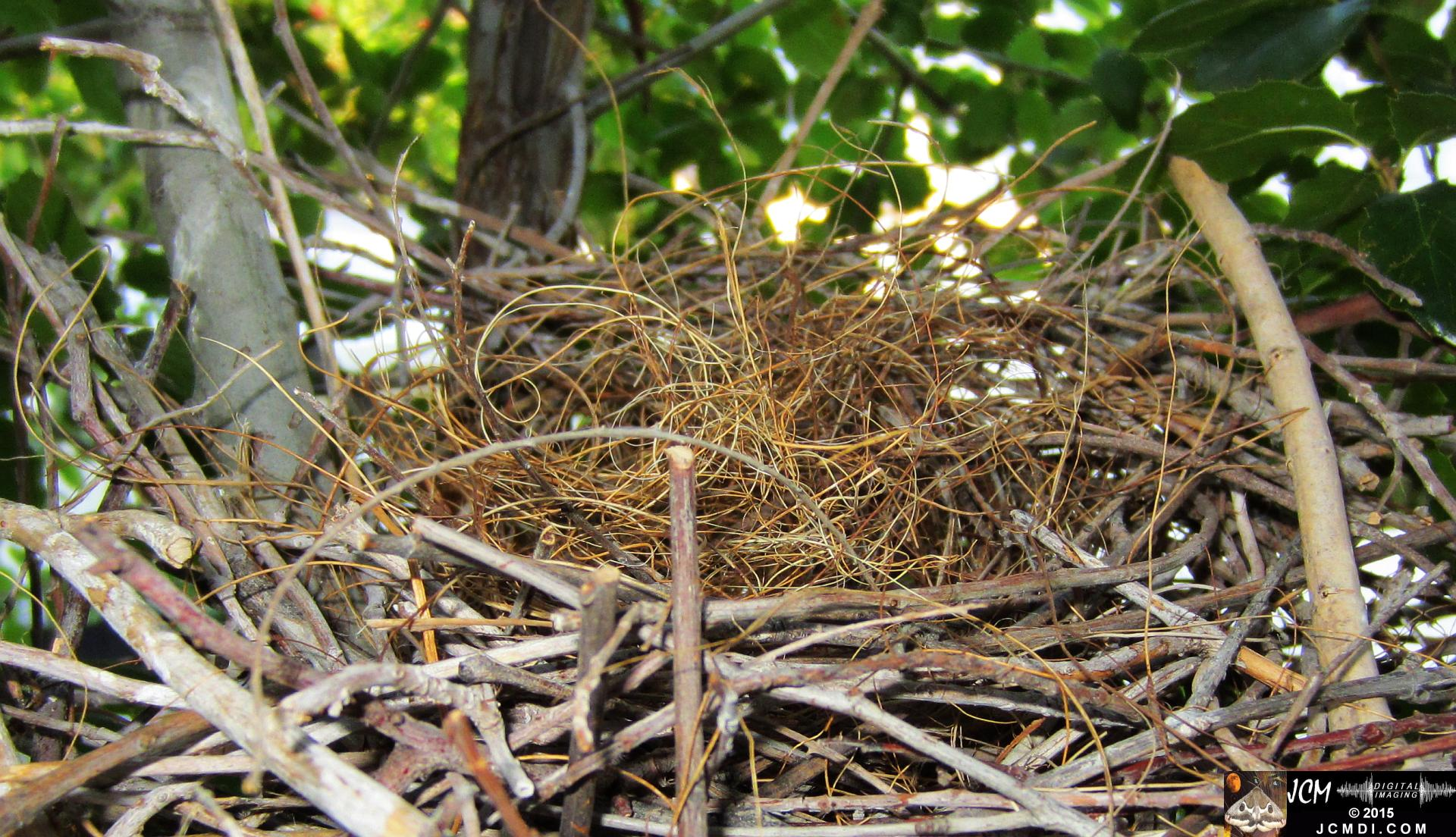 Scrub Jay nest disassembly – birds take apart their old nest using material to build a new one. JCMDI.COM