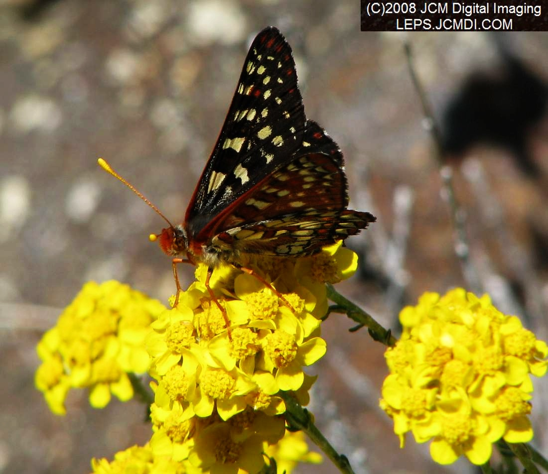 Chalsedon Checkerspot on blossoms
