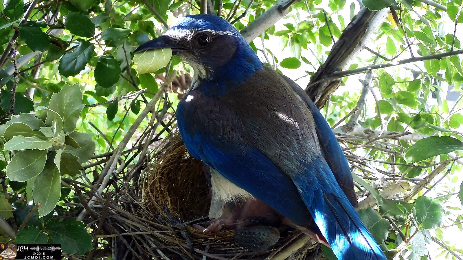 Scrub Jay nest documentary - female flies off with dead leaf