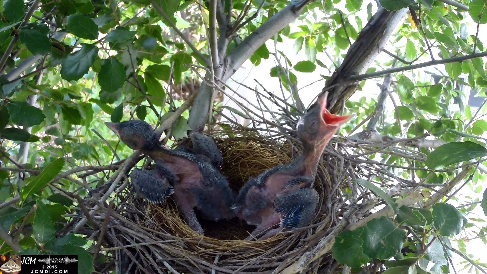 Scrub Jay nest documentary - chicks resting in nest