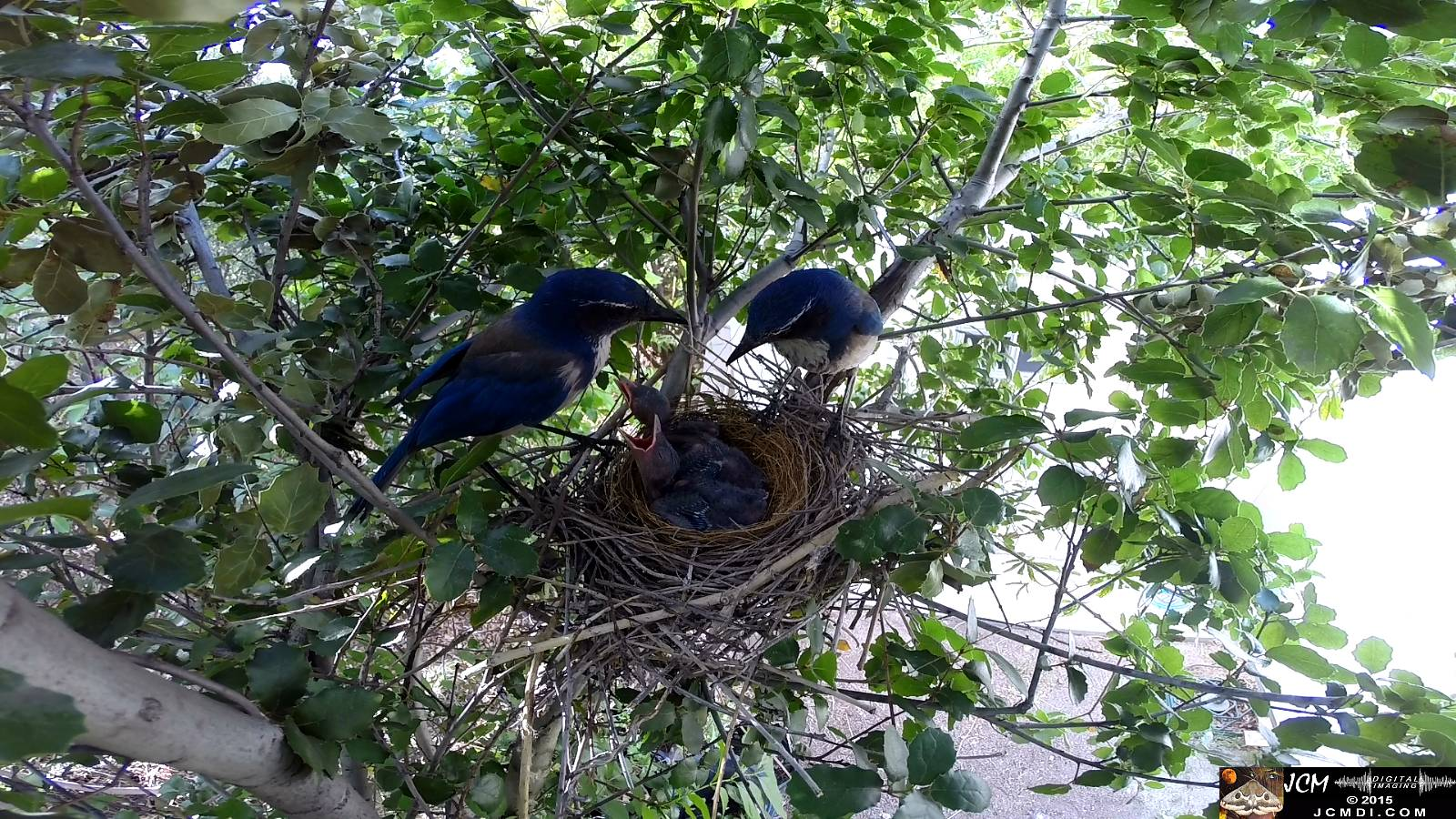 Scrub Jay nest documentary - pair stands over chirping chicks male leaves