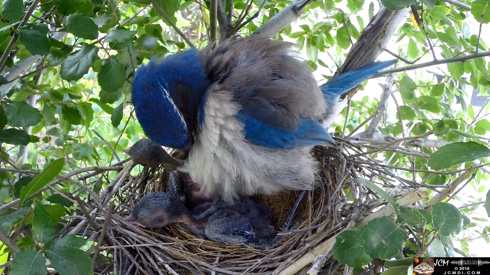 Scrub Jay nest documentary - female stands in nest preening