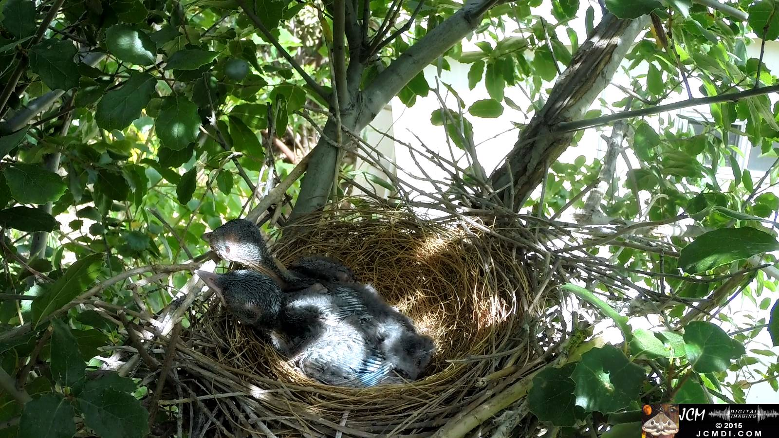Scrub Jay nest documentary - chicks resting wake as parent arrives
