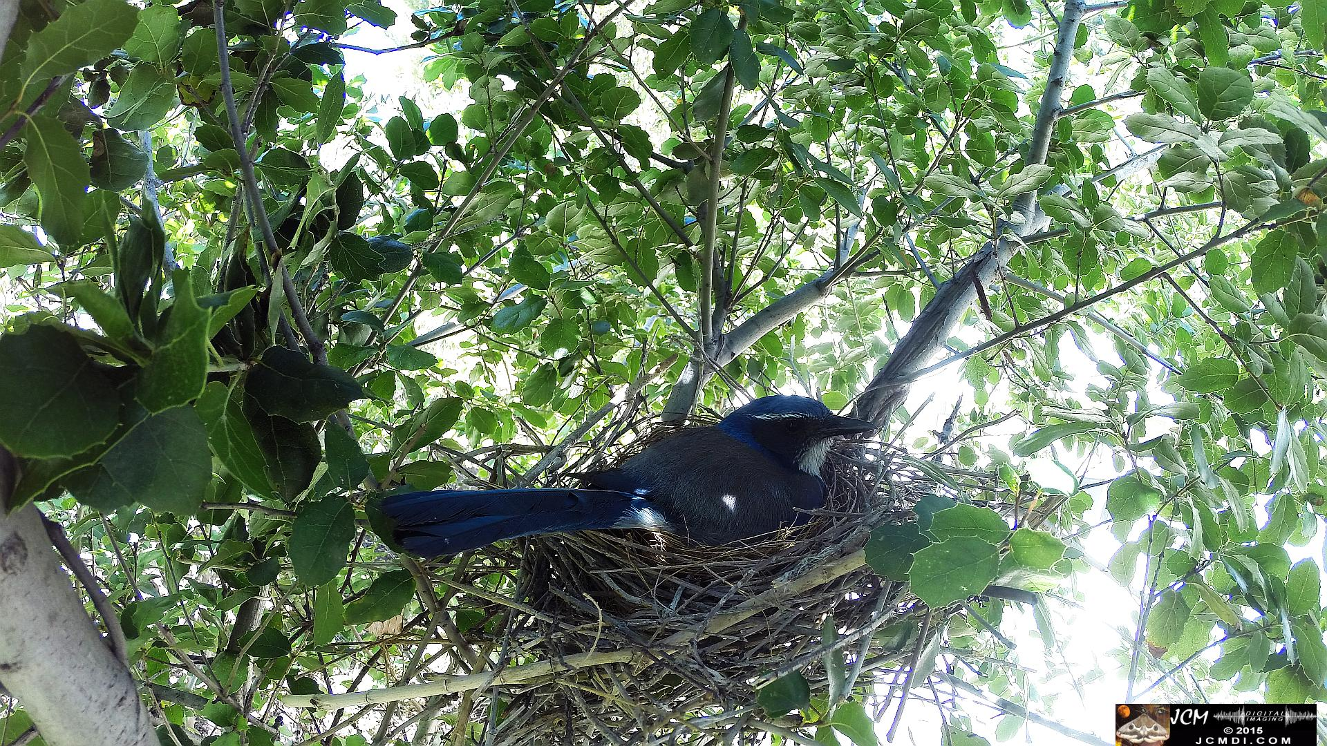 Scrub Jay wide view female in nest