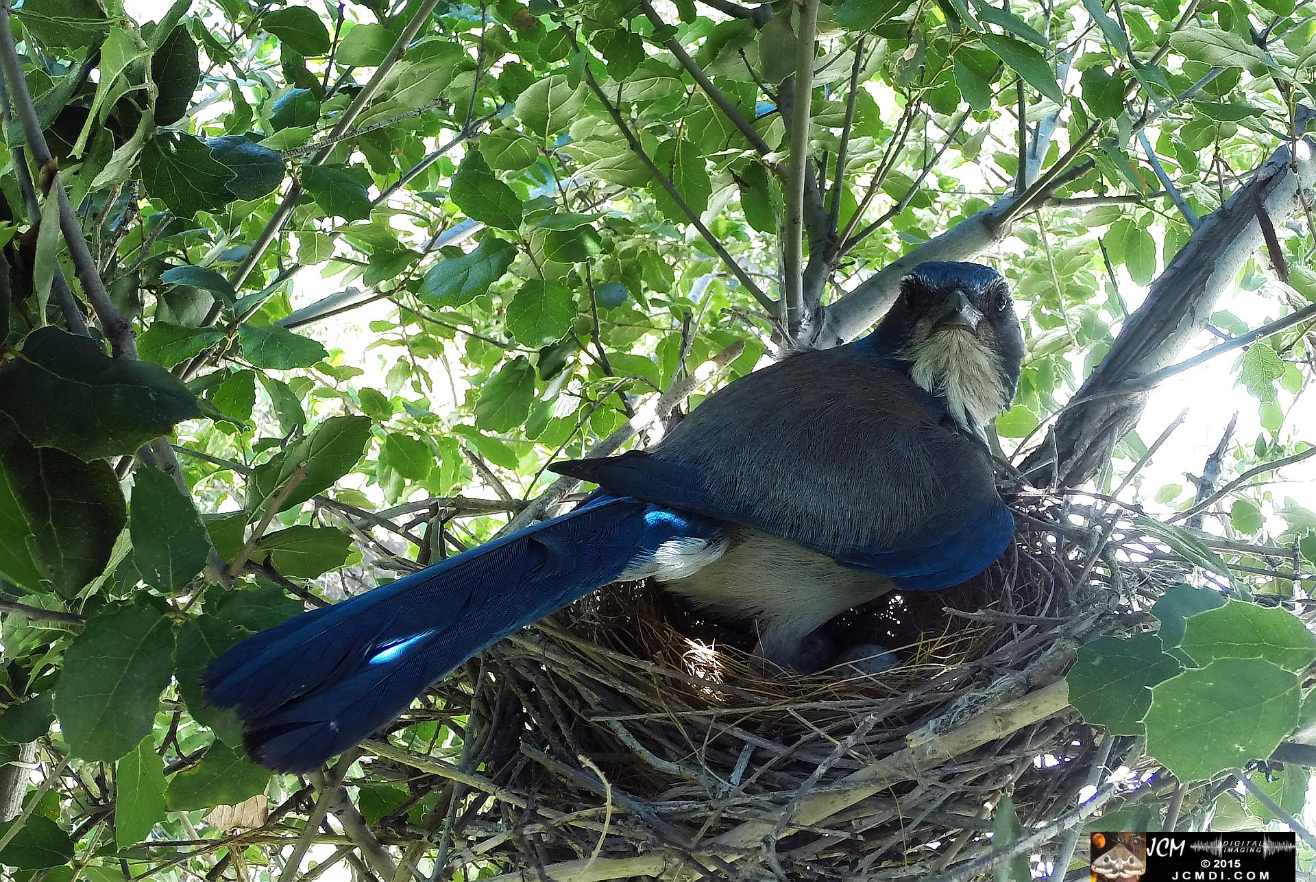 Scrub Jay wide view female in nest looking at camera