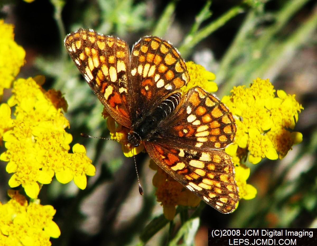 Gabbs Checkerspot on blossoms