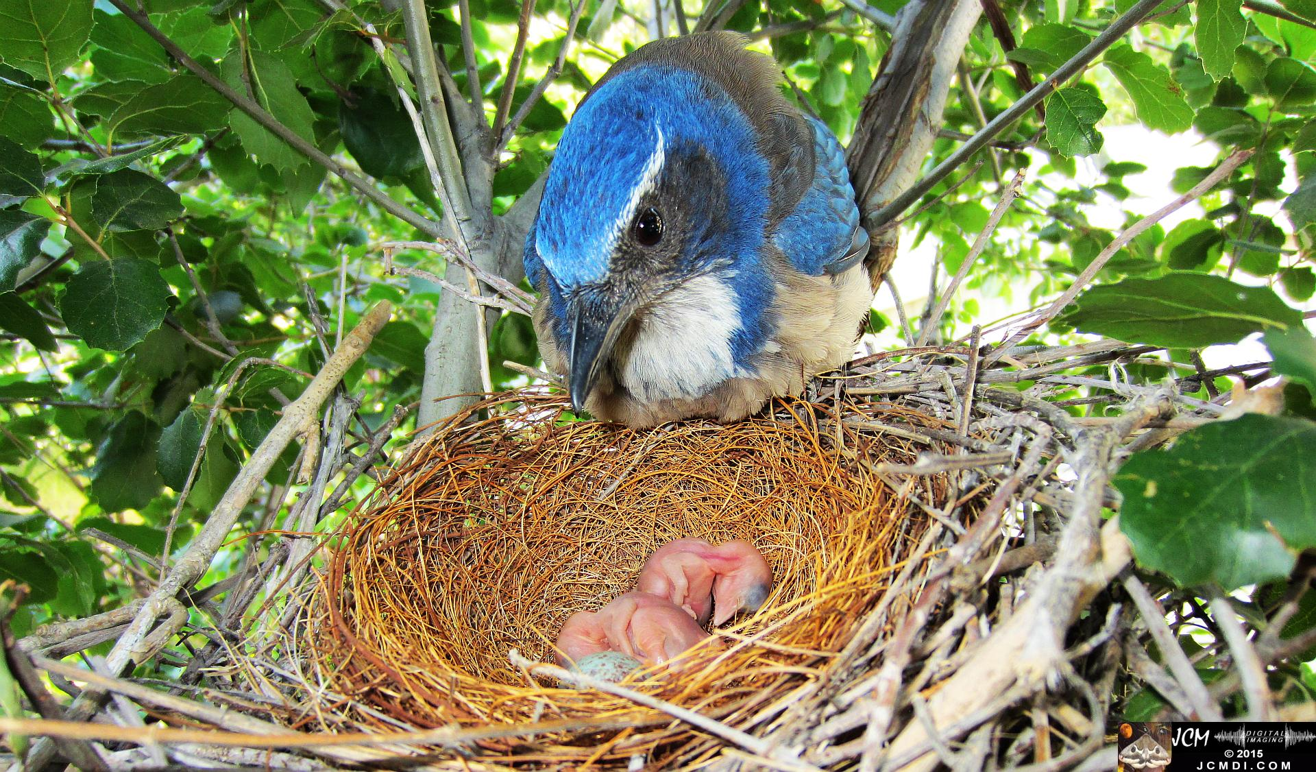 Scrub Jay female looks over 2 fresh chicks HS300