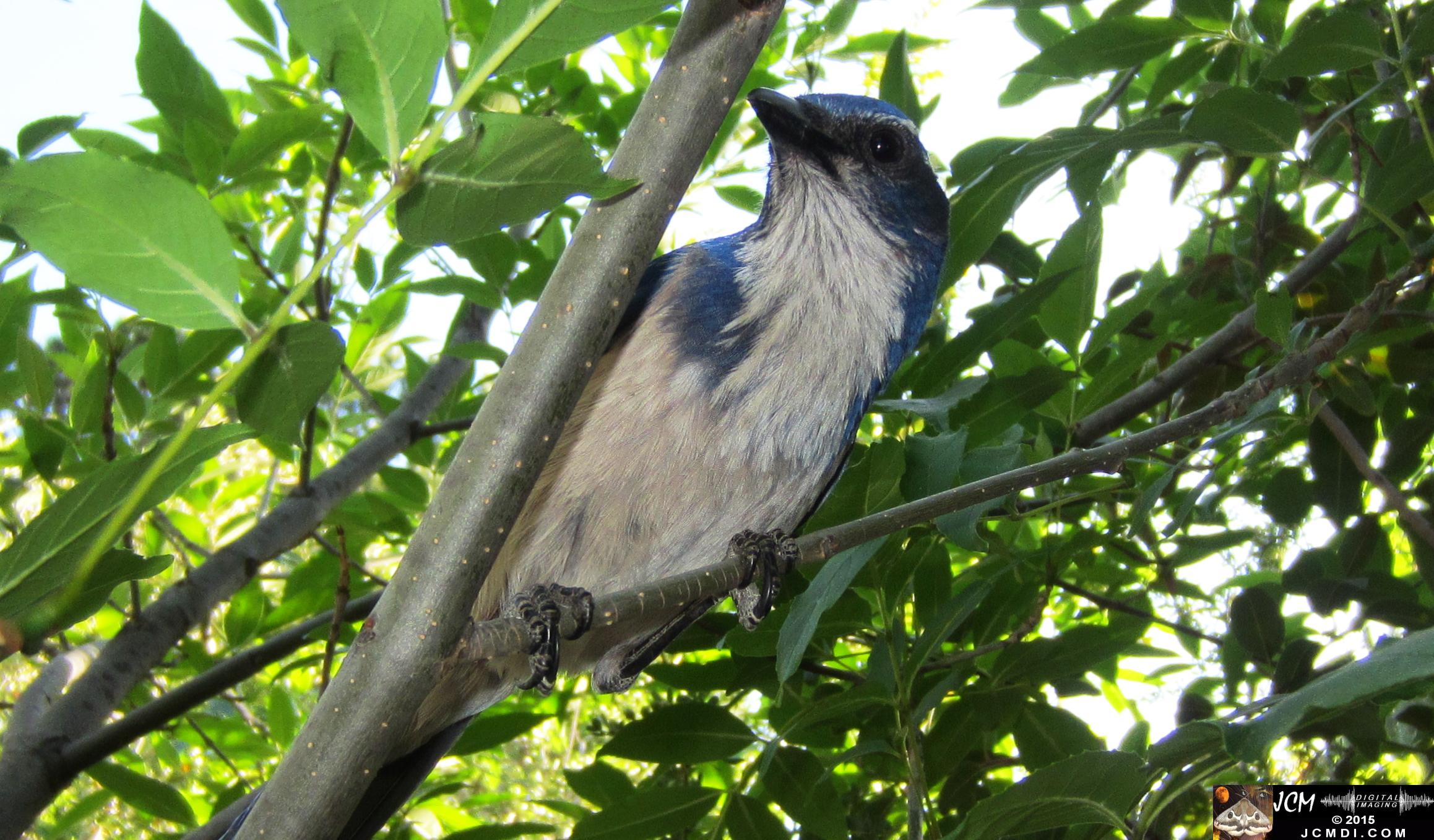 Scrub Jay curious male watches filming