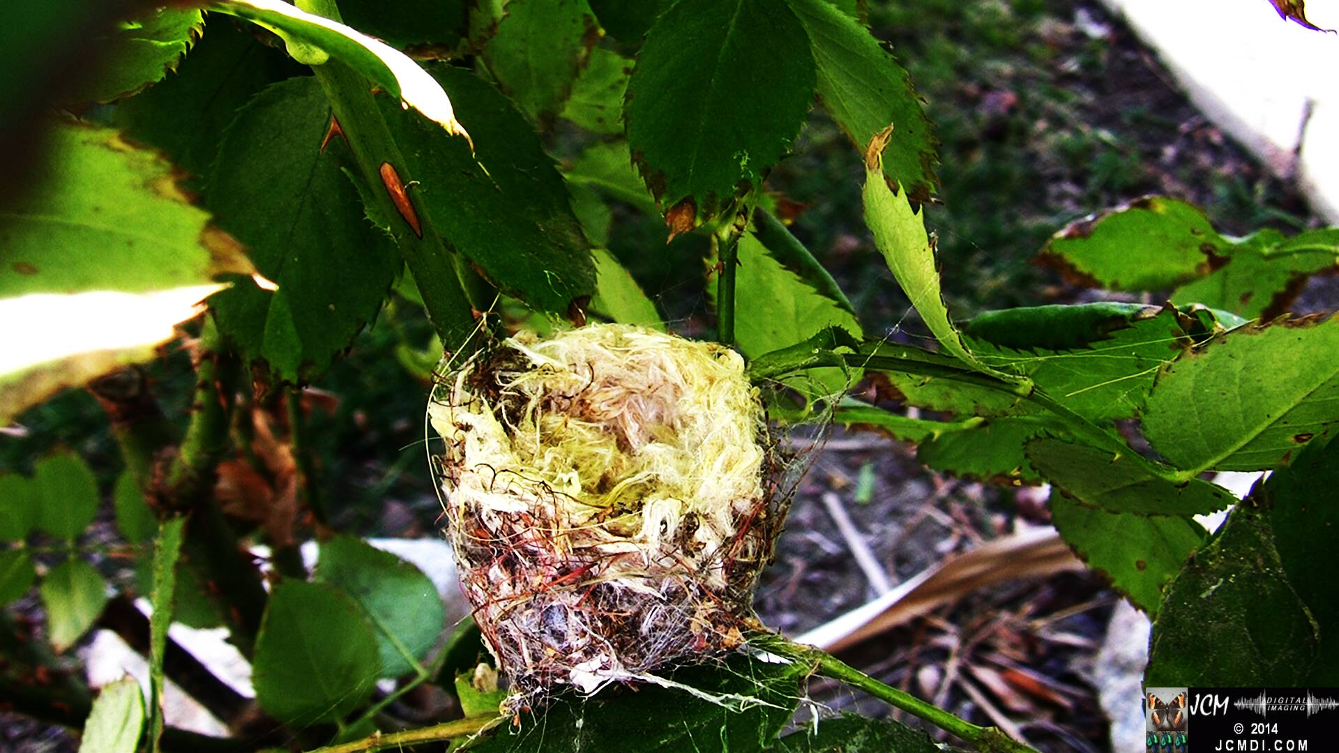 Allen's Hummingbird empty nest under construction...